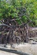 Mangrove de Linoua (Torrès)